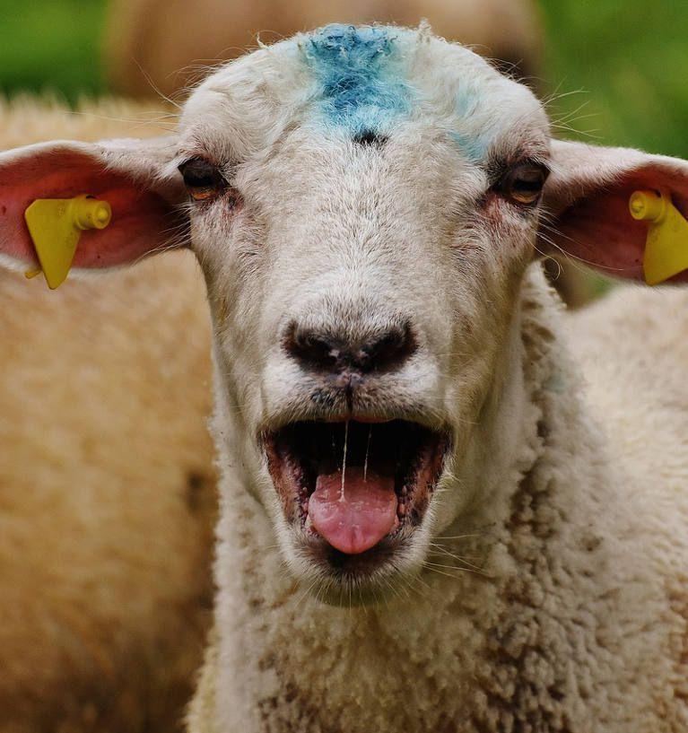 Wypas owiec w Bieszczadach? Dlaczego nie!
