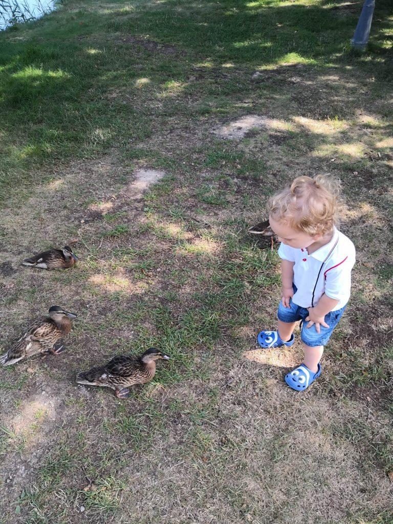 Kaczki przy stawie